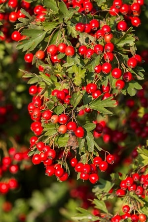 Hawthorn berry is used in this supplement